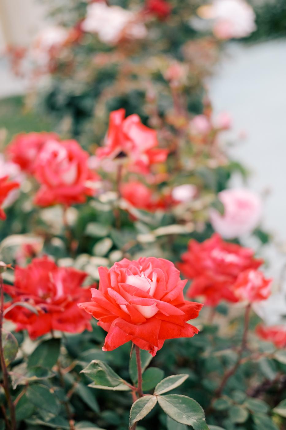 Debora Dahl, roses